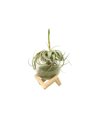 Tillandsia Xerographica Airplant